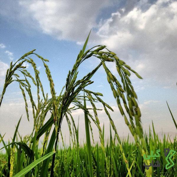 انواع برنج در گیلان