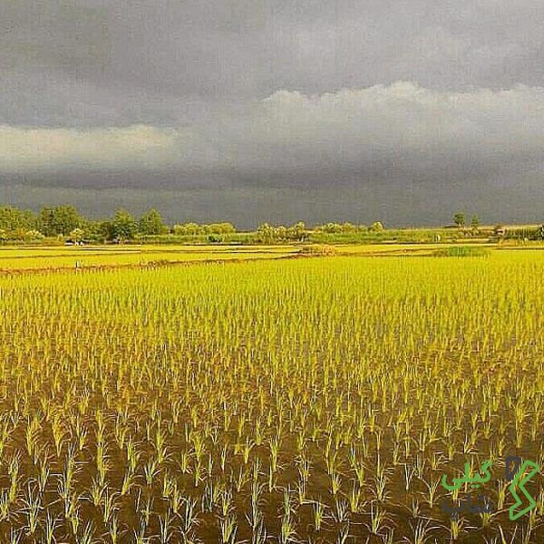 نشاء سنتی برنج در مزارع