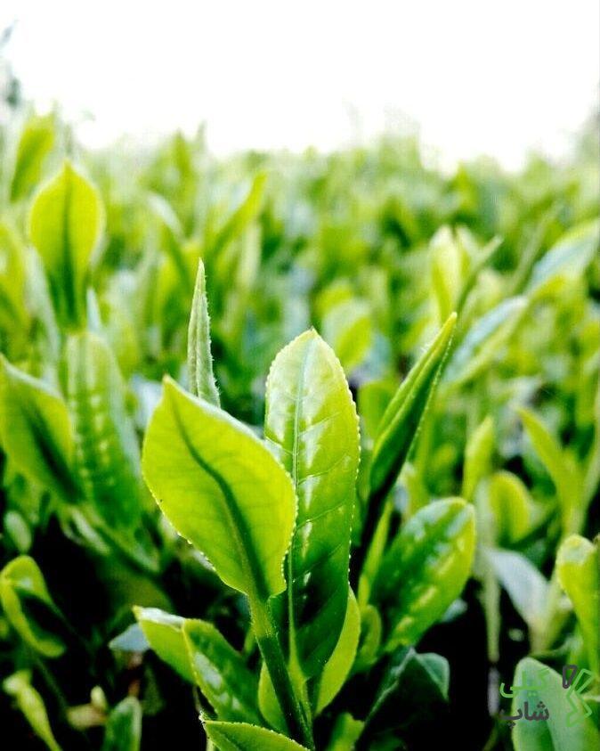 بررسی خواص چای سیاه + خرید اینترنتی چای با قیمتی بسیار مناسب