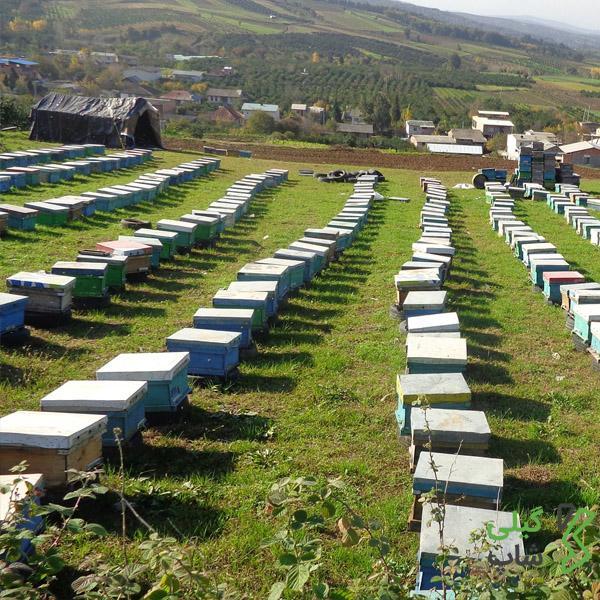 زنبور داری در استان گیلان و شهرستان آستارا