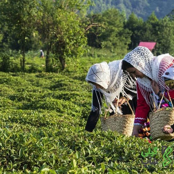 خرید چای قلم و طبیعی استان گیلان