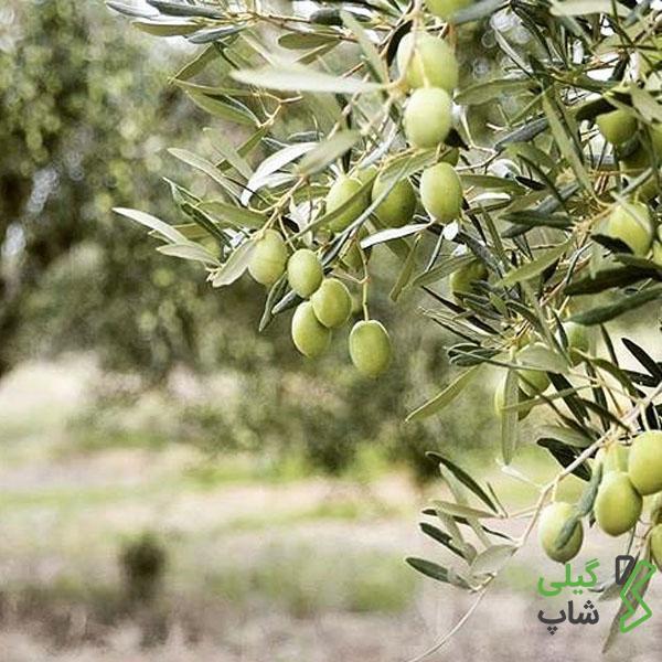 معرفی شهرستان رودبار | مهد اصلی تولید زیتون در استان گیلان