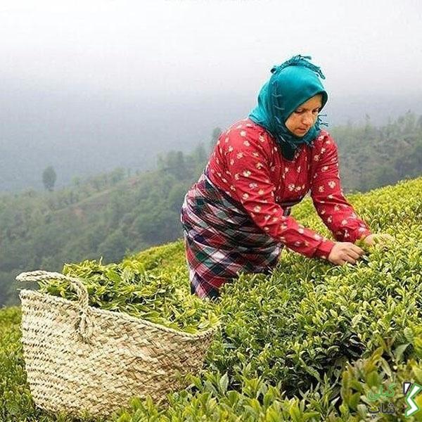 برداشت چای در شهرستان سیاهکل