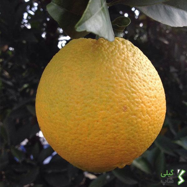 پرتقال تامسون