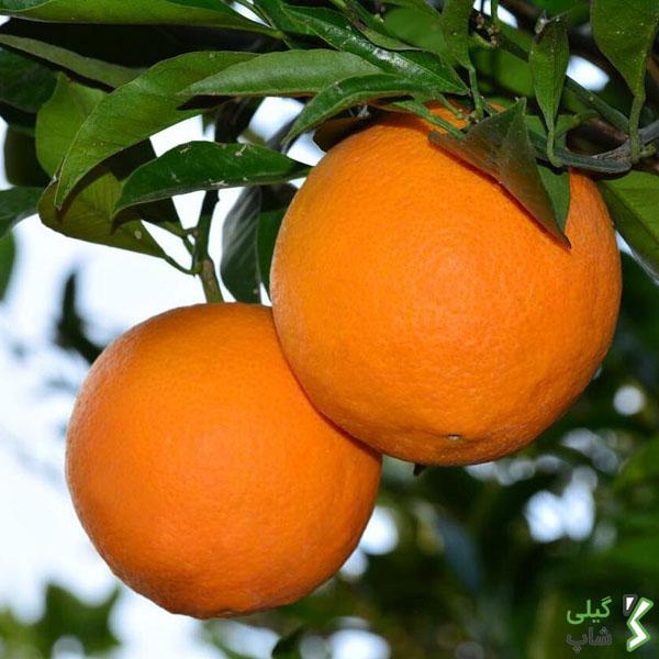 خرید پرتقال تامسون شمال کشور