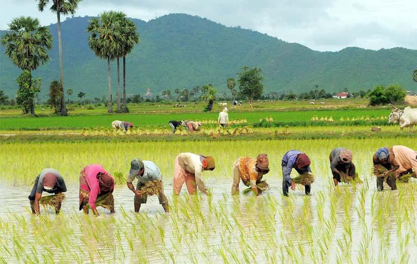 انواع برنج خوش پخت و خوش طعم گیلان