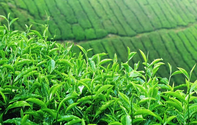 خرید چای بهاره 98