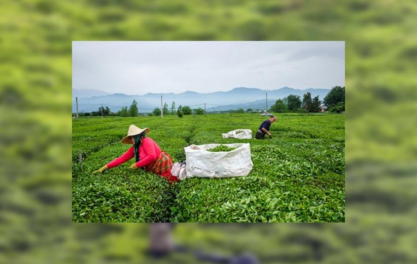 قیمت چای نوشینه | چای نوشینه چیست؟