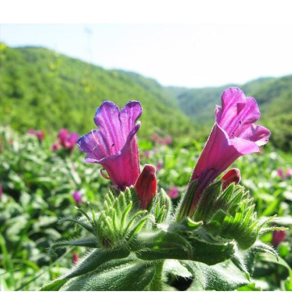 گیاه گل گاوزبان