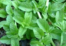 سبزی خالواش (1)