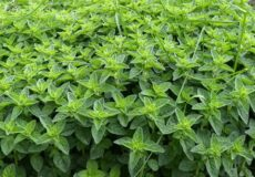 سبزی خالواش (2)