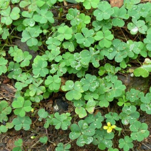 خواص سبزی ترش واش چیست؟