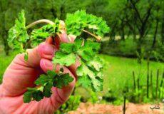 سبزی-چوچاق-در-چه-غذاهایی-استفاده-میشود
